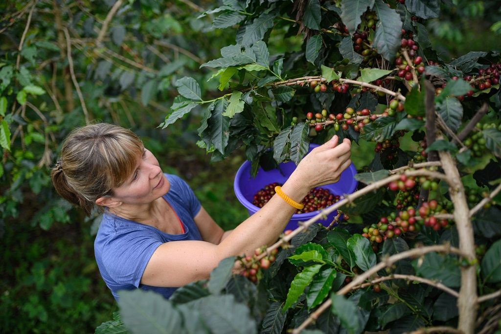 Tulip's Rachel Baldwin helps out with the coffee harvest.