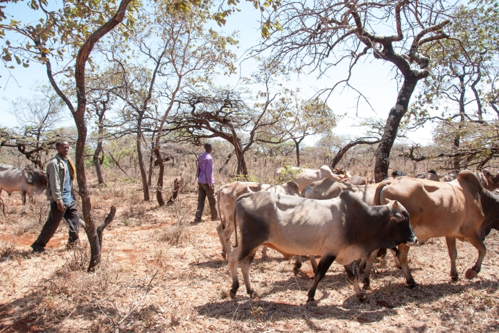 Mohammed has been able to buy more cows, as there is now enough forage for them to eat.