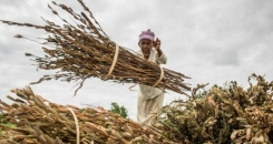 Open sesame: how cash crops build climate change resilience