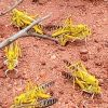 Desert locust infestation threatens harvests across eastern Africa