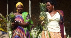 A fine pineapple harvest, despite drought