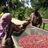Rain Forest Alliance certification for Farm Africa Coffee