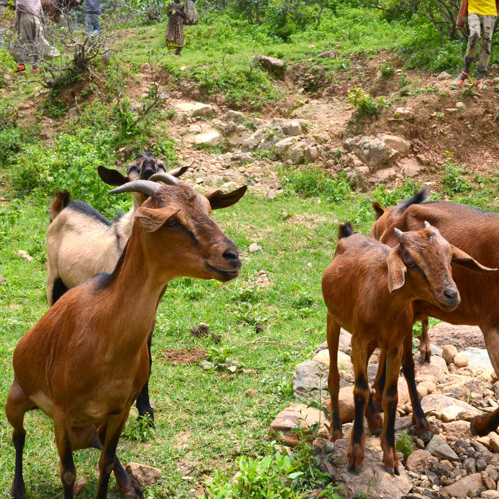 ten reasons why we work with goats latest news farm africa