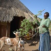 Thousands of Ugandan and Ethiopian women receive goats