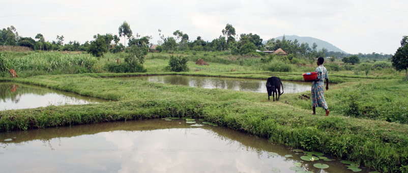 Fish ponds belonging to Evelyn Nagemi in Samia district, Kenya.