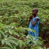 Growing cassava in Kenya