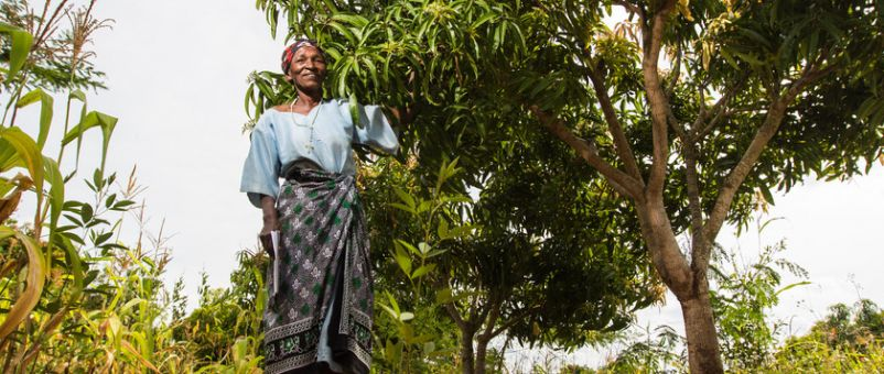 We're providing 800 women farmers with better-quality mango stocks that ripen and fruit at different times of year.