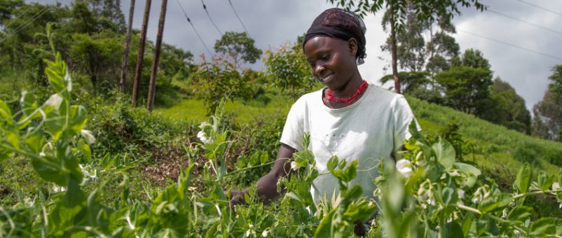 Gladys Kipkorir, 23, harvests snow peas at her youth group's farm in Leltangat Village, Trans Nzoia East