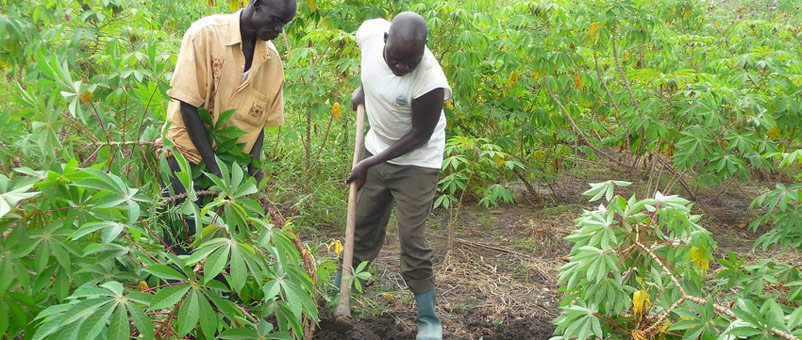 Farmers digging up cassava plants to harvest the tubers.