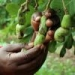 One million new cashew trees for coastal Kenya