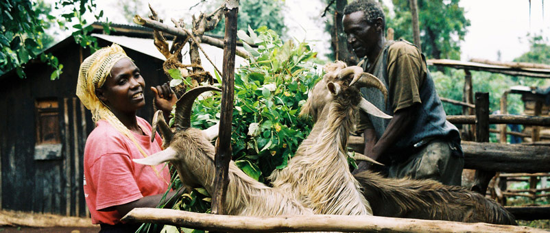 Farm Africa started by providing goats on credit to poor families. One of their goat's kids was returned to Farm Africa and given to another family.