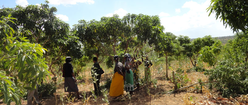 We helped provide women with better-quality mango stocks that ripen and fruit at different times of year.