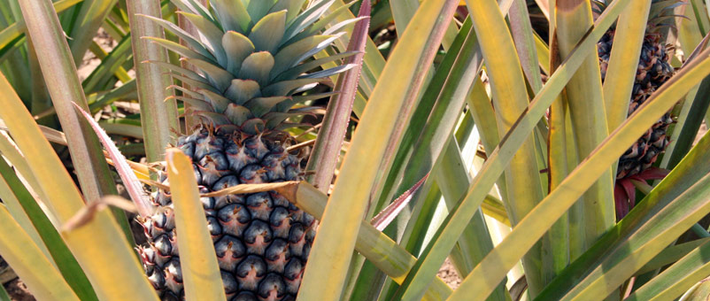 A pineapple grown using training and tools from Farm Africa that help farmers process and package produce to sell all year round.